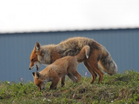 carnivores_red_fox