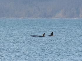 cetaces_killer_whale