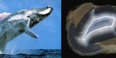 Humpback Whale. Агат, Ольское плато.