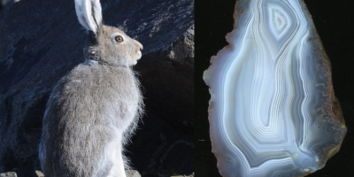 Snow Hare. Агат, Тиманский кряж.