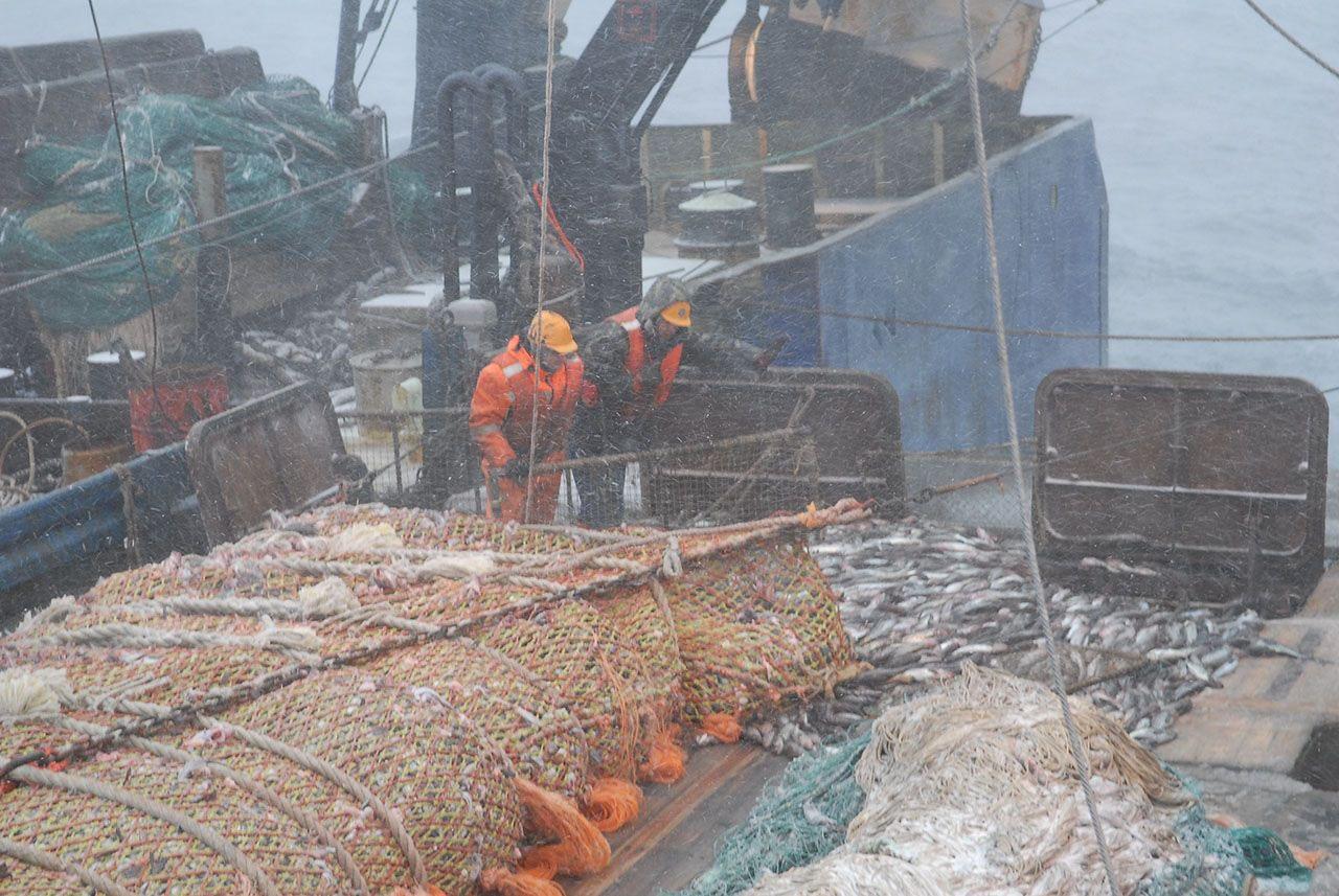 Добыча минтая в Охотском море.