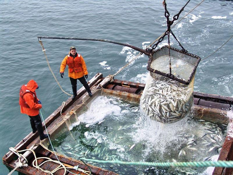 Рыбаки за работой. Добыча даров моря.