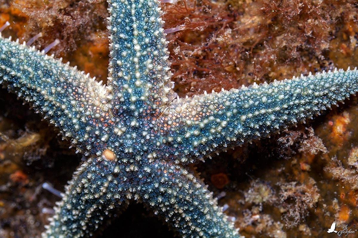 Морская звезда позирует.