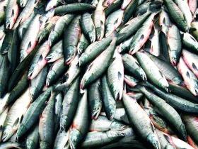 khalan_fish