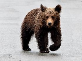 kovyakin_bear