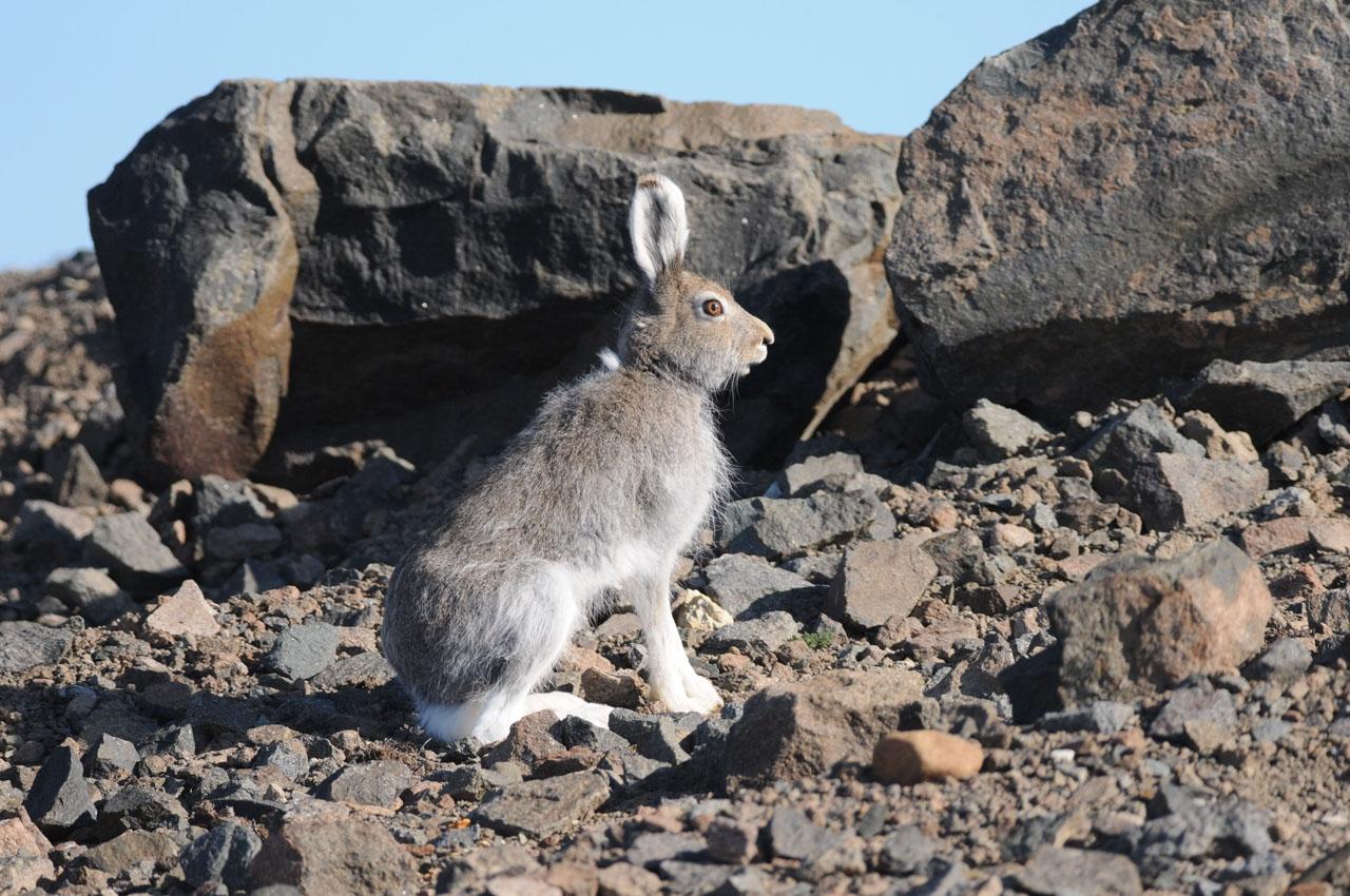 Заяц-беляк в окрестностях месторождения Купол (Чукотка), 15.06. 2012 год.