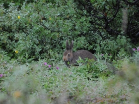 lagomorphs_mountain_hare
