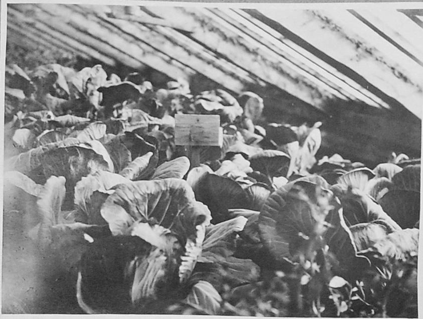 Кочанная капуста в теплице. 1932 год.