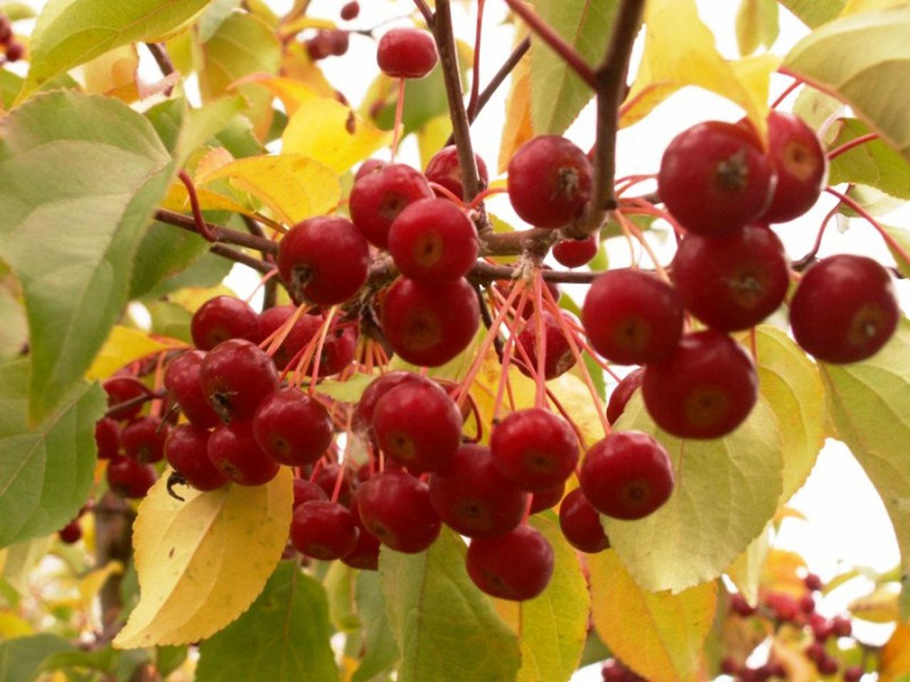 Сибирская ягодная яблоня.