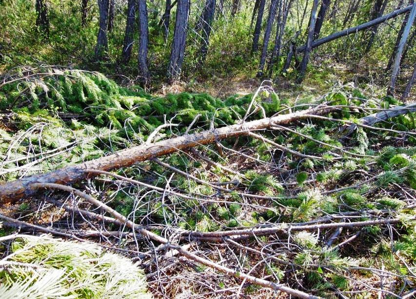 Поваленные деревья на территории Лосовского леса.
