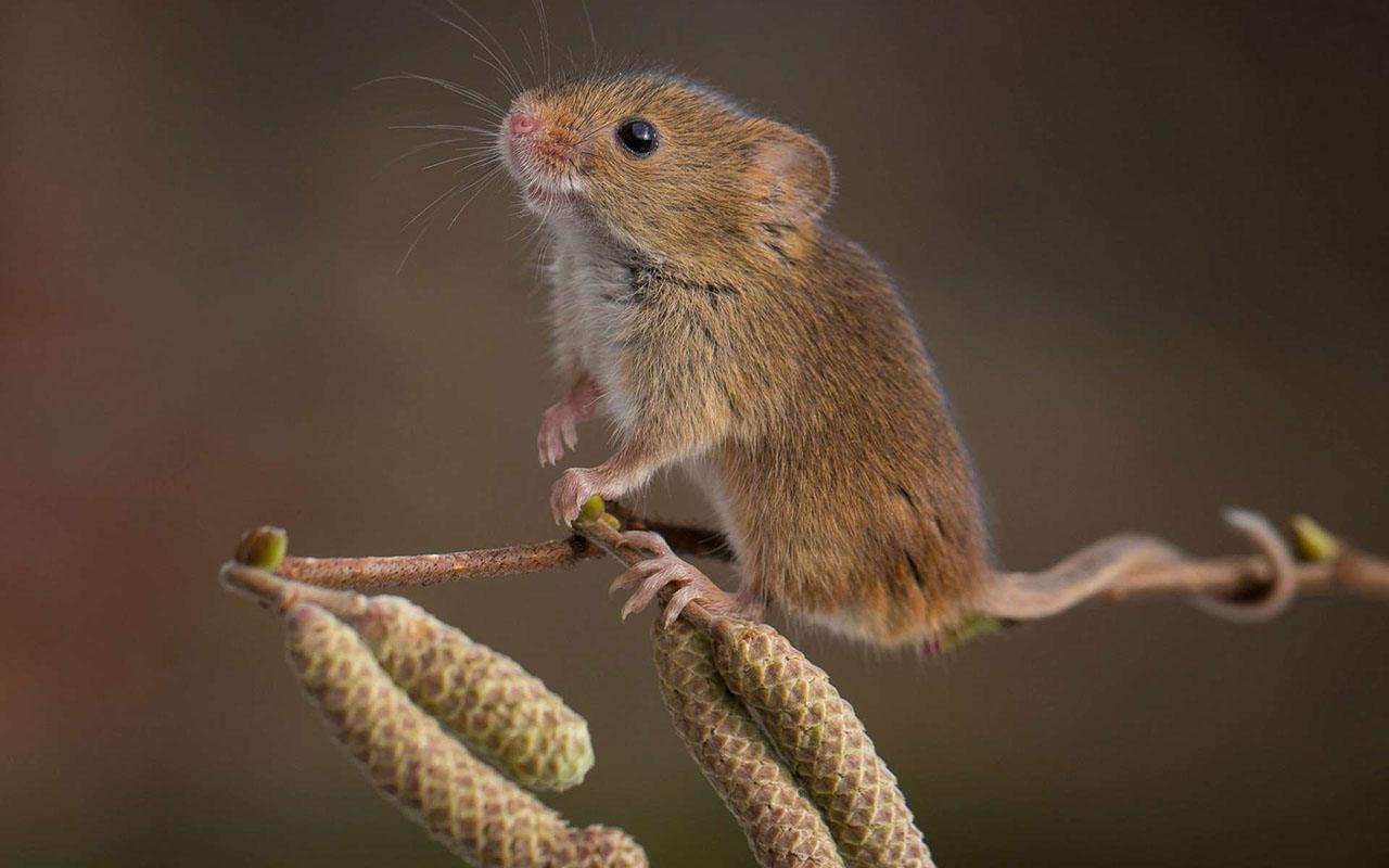Мышь-малютка, краснокнижный вид, обитает в Лосовском лесу.