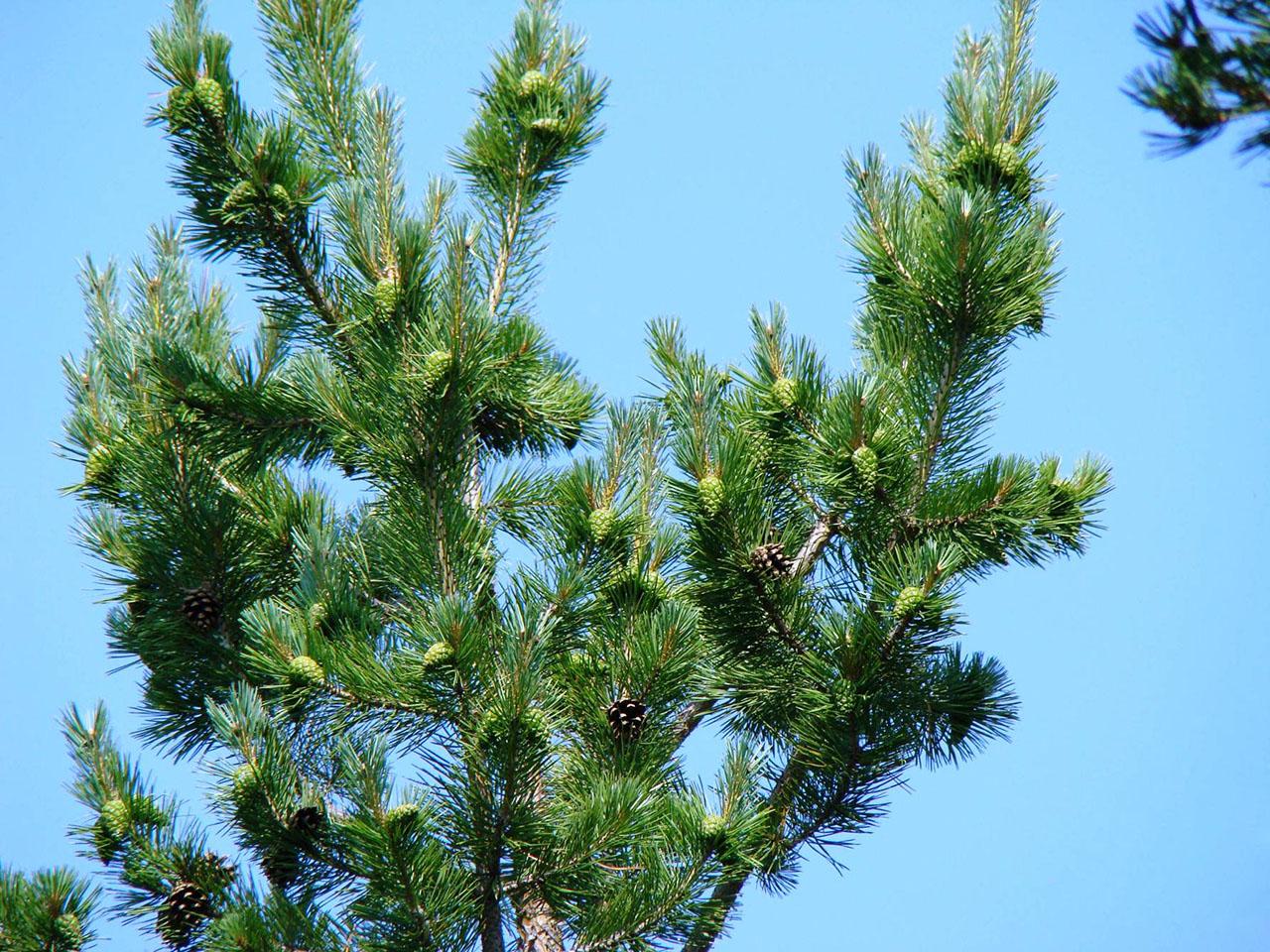 Сосны Лосовского леса хорошо плодоносят.