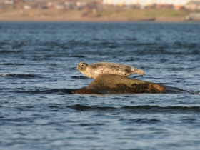 Ларга (Larga Seal)
