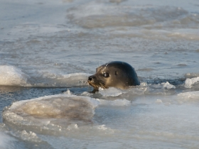 pinnipedes_ringed_seal