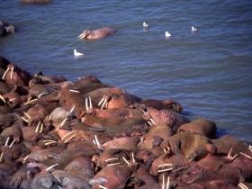 pinnipedes_walrus