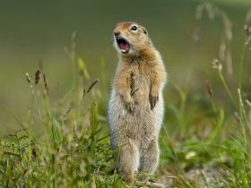 Берингийский суслик (Arctic Groung Squirrel)