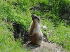 Черошапочный сурок (Black-capped Marmot)