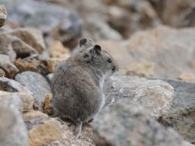 Лемминговидная полевка (Mountain Vole)