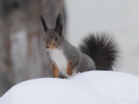 Обыкновенная белка (Red Squirrel)