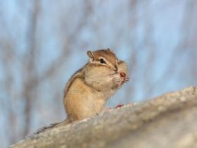 Азиатский бурундук (Siberian Chipmunk)