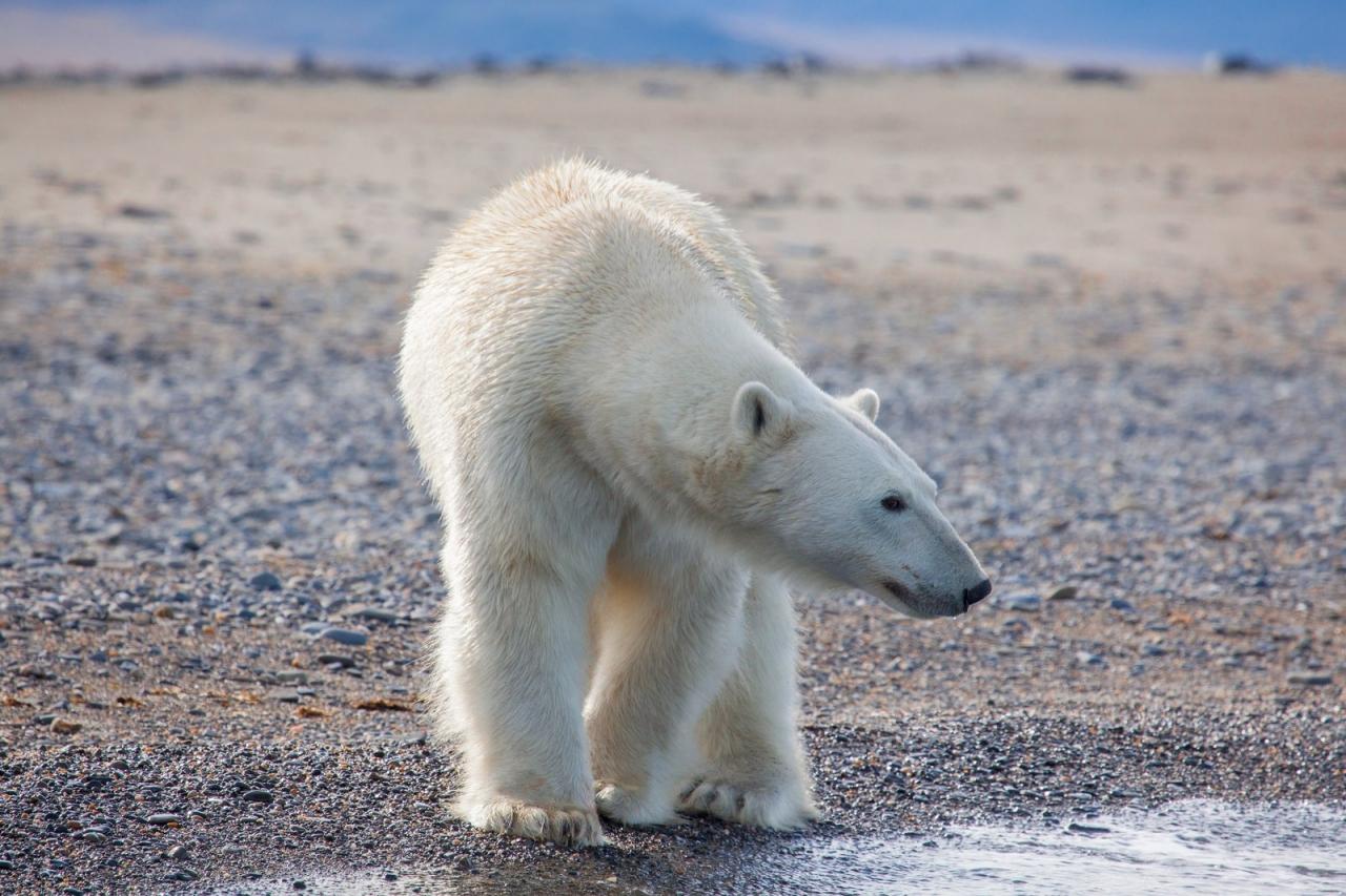Белый медведь. остров Врангеля.