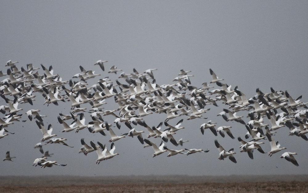 Остров Врангеля. Стая белых гусей.