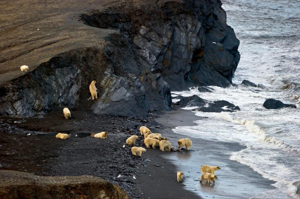 Остров Врангеля. Дележка моржа белыми медведями.