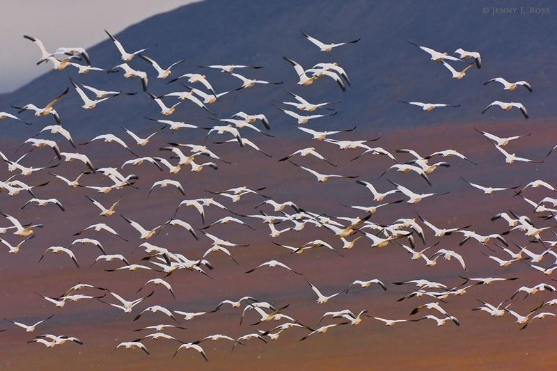 Остров Врангеля. Перелет белых гусей.