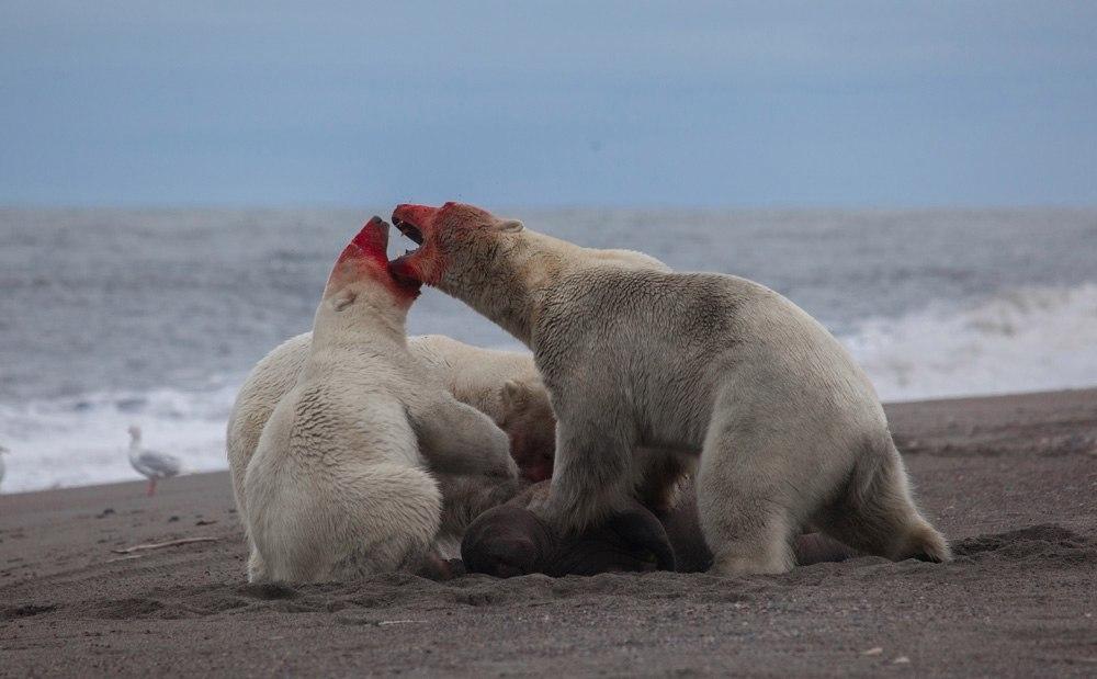 Остров Врангеля. Белые медведи.