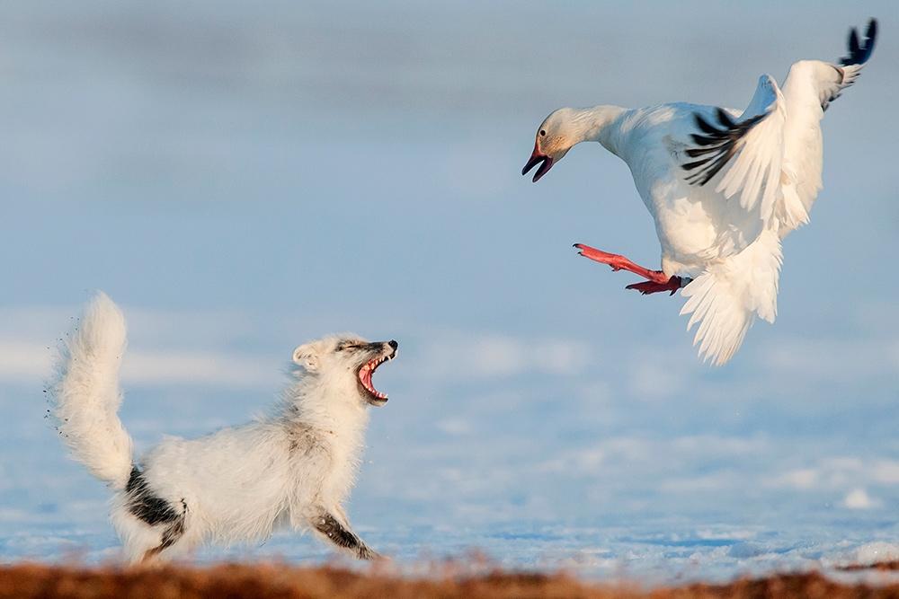 Остров Врангеля. Песец и белый гусь.