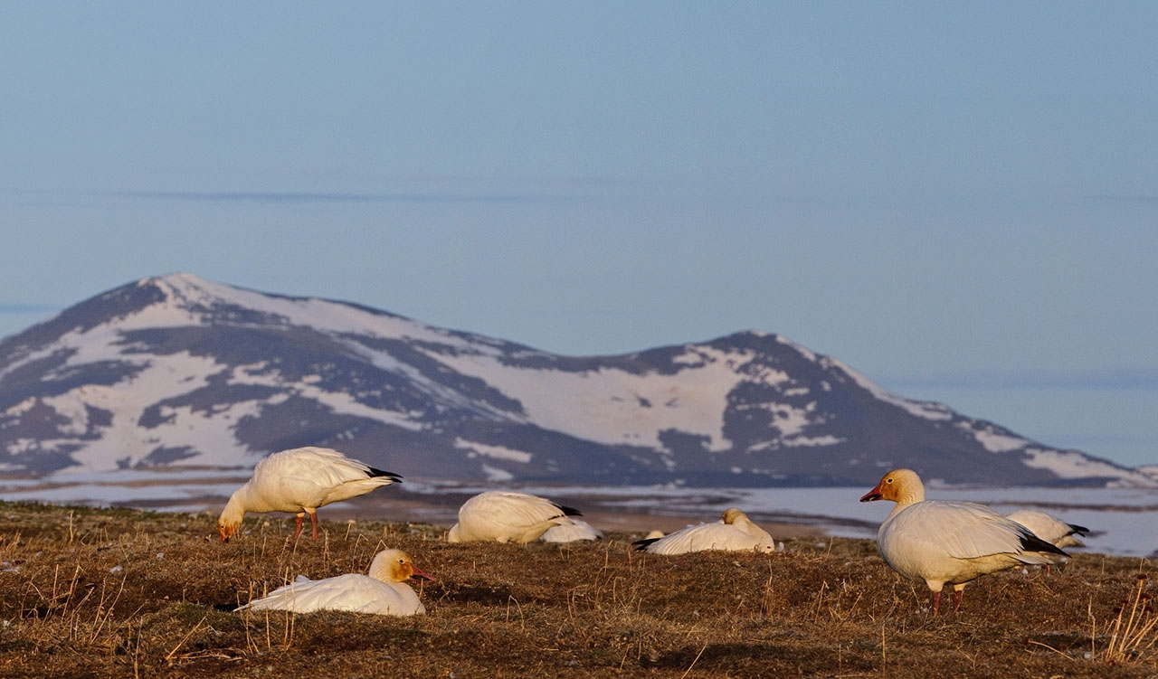 Остров Врангеля. Гнездовье белых гусей.