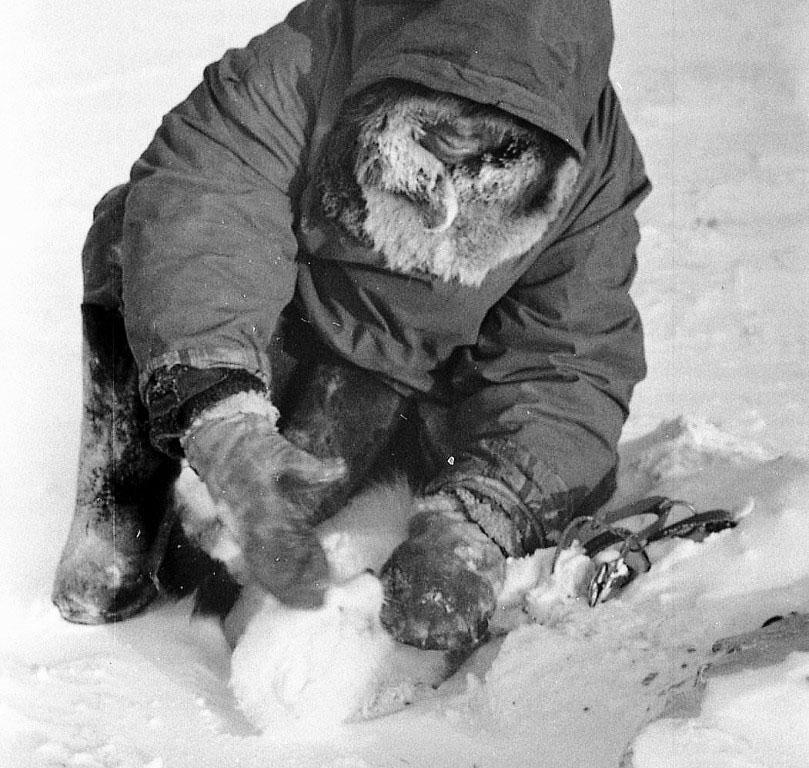 Остров Врангеля. Ульвелькот снимает песца из капкана. Сомнительная, 1978 год.
