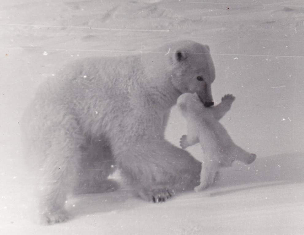 Остров Врангеля. Белая медведица с медвежёнком.