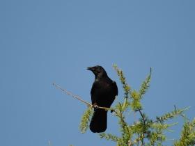 bird_chernaya_vorona
