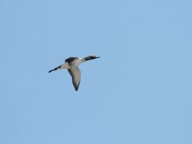 bird_chernozobaya_gagara