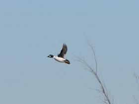 bird_gogol