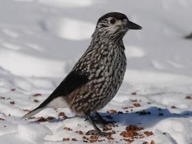 bird_kedrovka