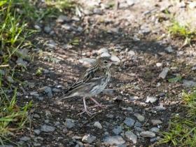 bird_sibirskiy_konek