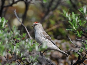 bird_tundryanaya_chechetka