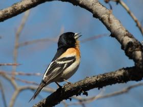 bird_yurok