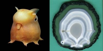 Dambo Octopus. Агат, Бразилия.