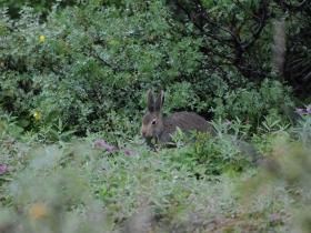 lagomorphs_mountain_hare