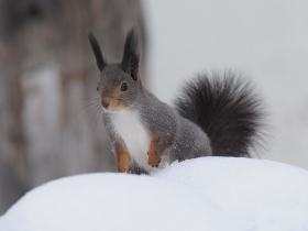 rodents_red_squirrel